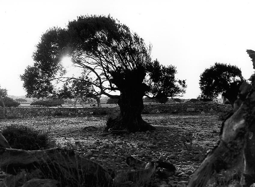 Impressionen Formentera 1960-80 Olivenbaum