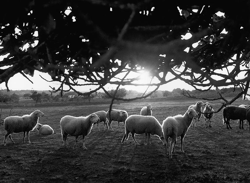 https://lupuswolf.de Impressionen Formentera 1960-80 Schafe auf der Weide